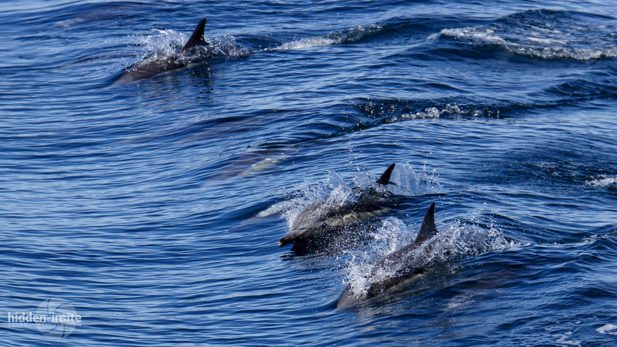 dolphin joy in the sea of cortez hidden insite